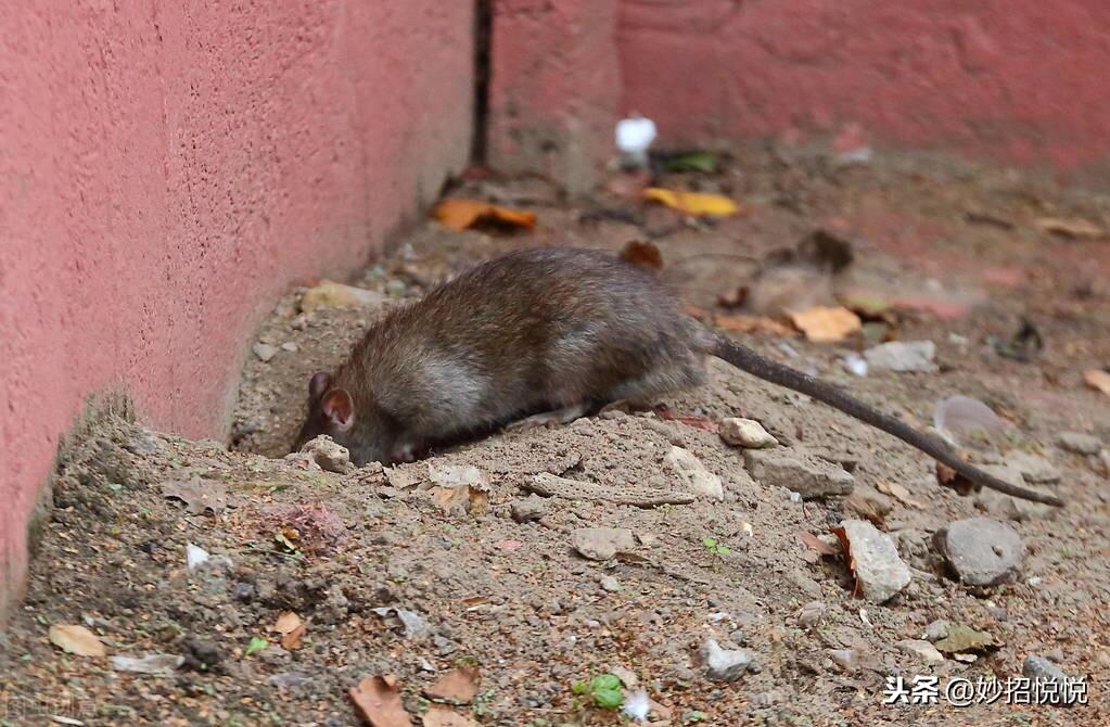 成精的老鼠不吃老鼠药,教您这样子灭鼠,老鼠怎么光荣的都不晓得 教您灭鼠 第1张