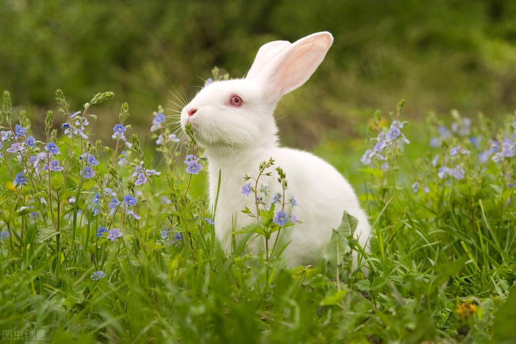 關於兔子的一些小知識,可能突破你對小兔兔的美好想象