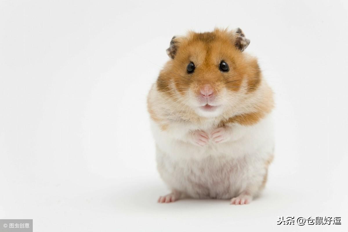 小仓鼠可以用水洗澡吗?