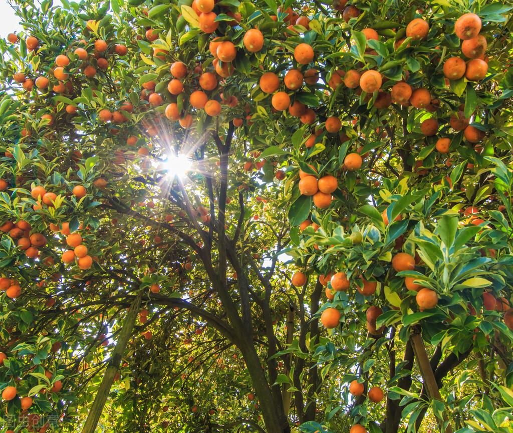 农业没有捷径,别让目光短浅毁了你的饭碗,读砂糖橘染色事件有感