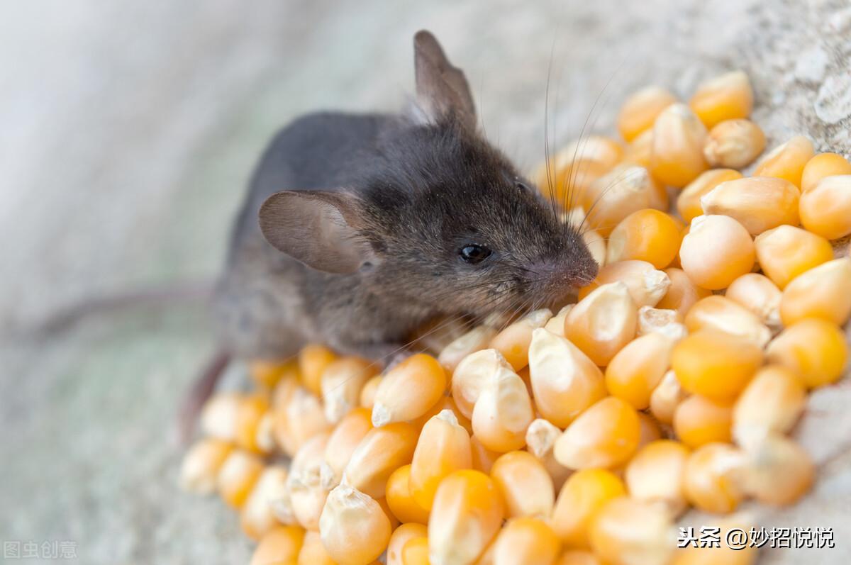 成精的老鼠不吃老鼠药,教您这样子灭鼠,老鼠怎么光荣的都不晓得 教您灭鼠 第2张