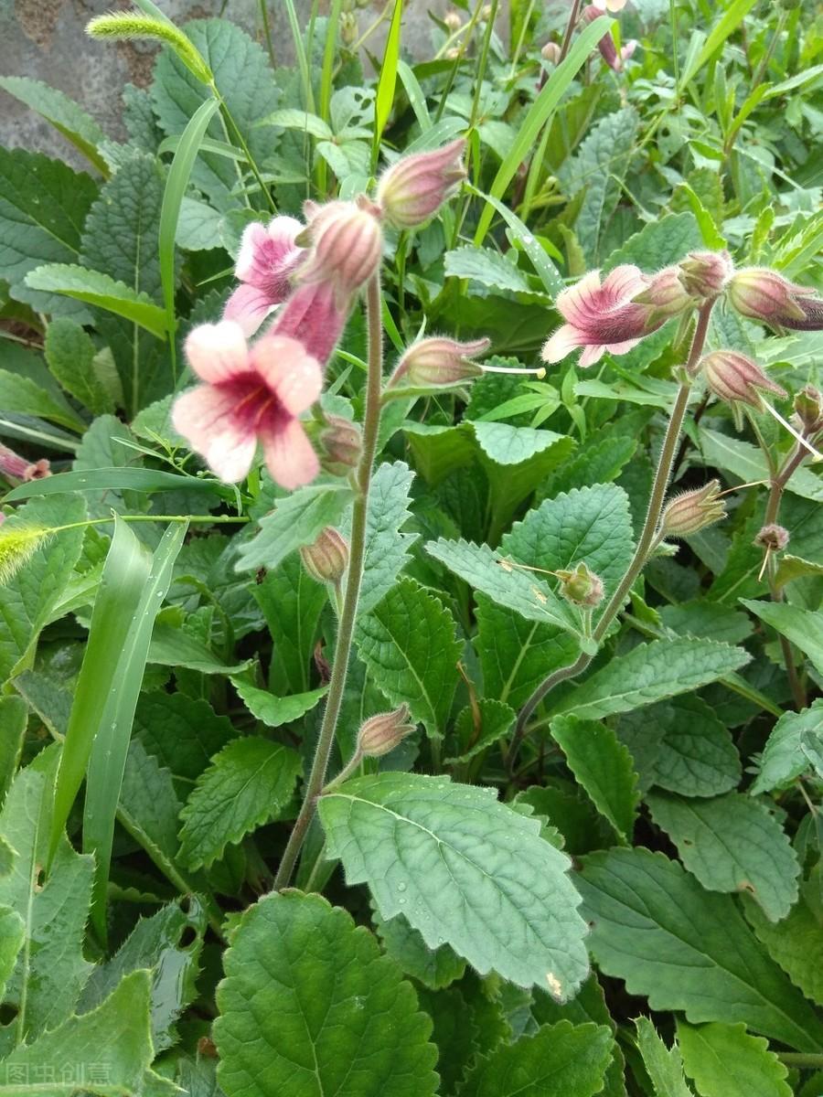 带你认识老百姓眼中的药用植物(2)——地黄(花)