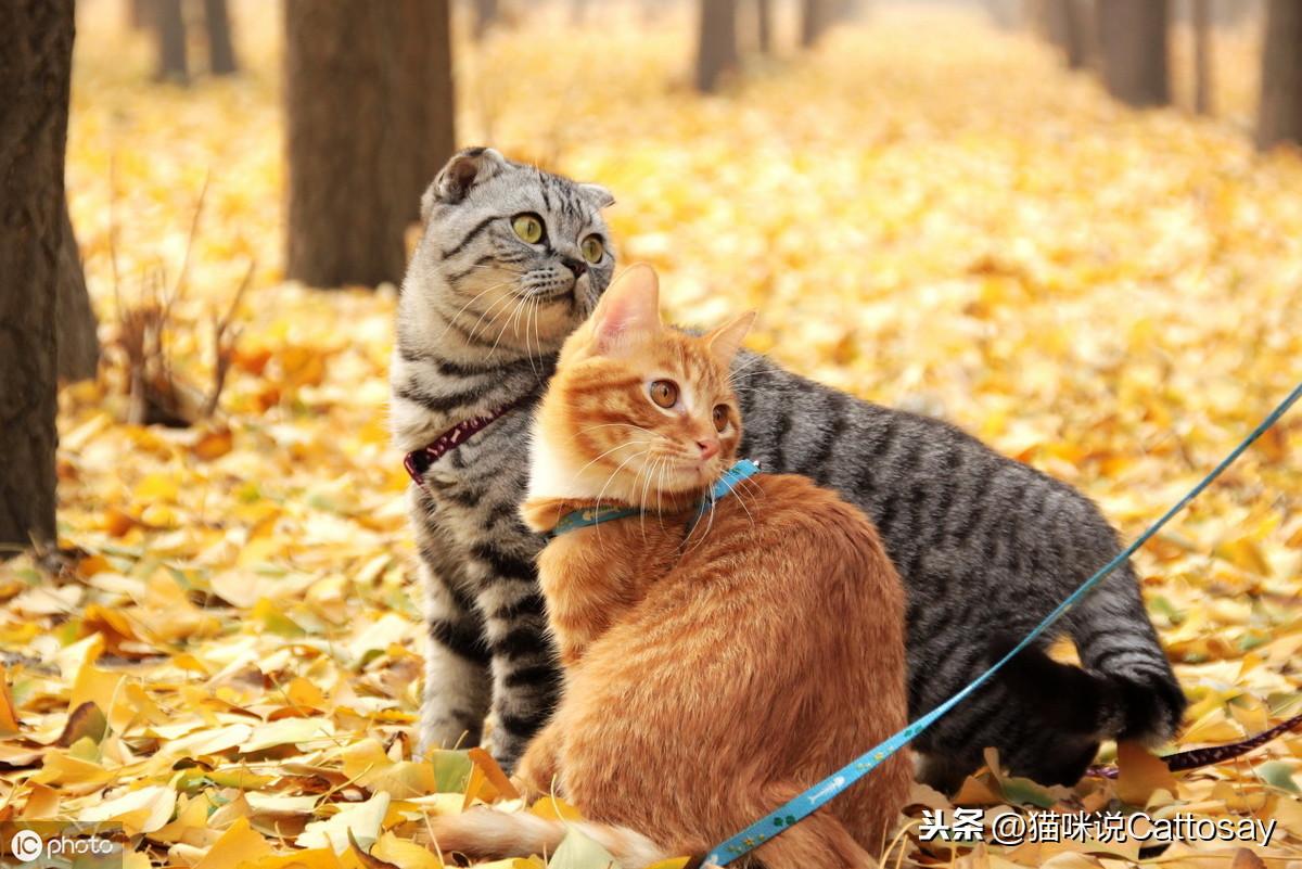 出门遛猫的利弊,3种利好4个隐患铲屎官多留意,猫出门前5个细节