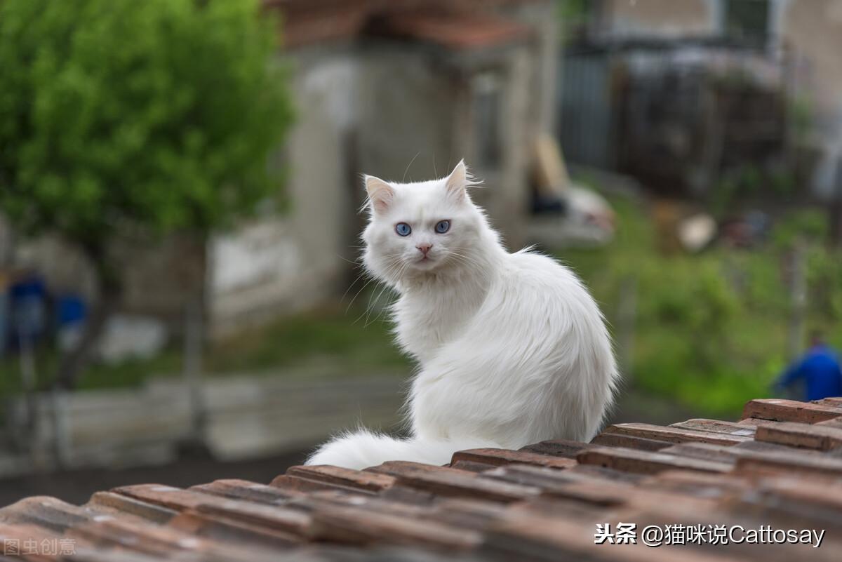 猫故意冷淡铲屎官,说明猫很喜欢你