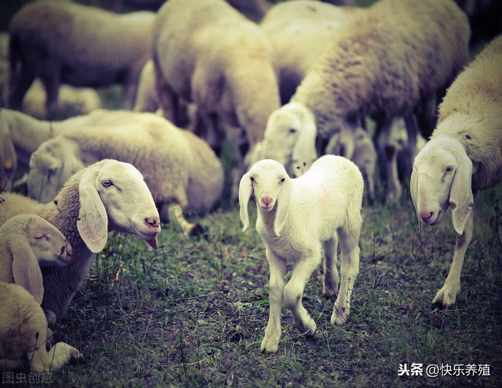 春季羊群开始集中产羔,如何提高羔羊成活率?