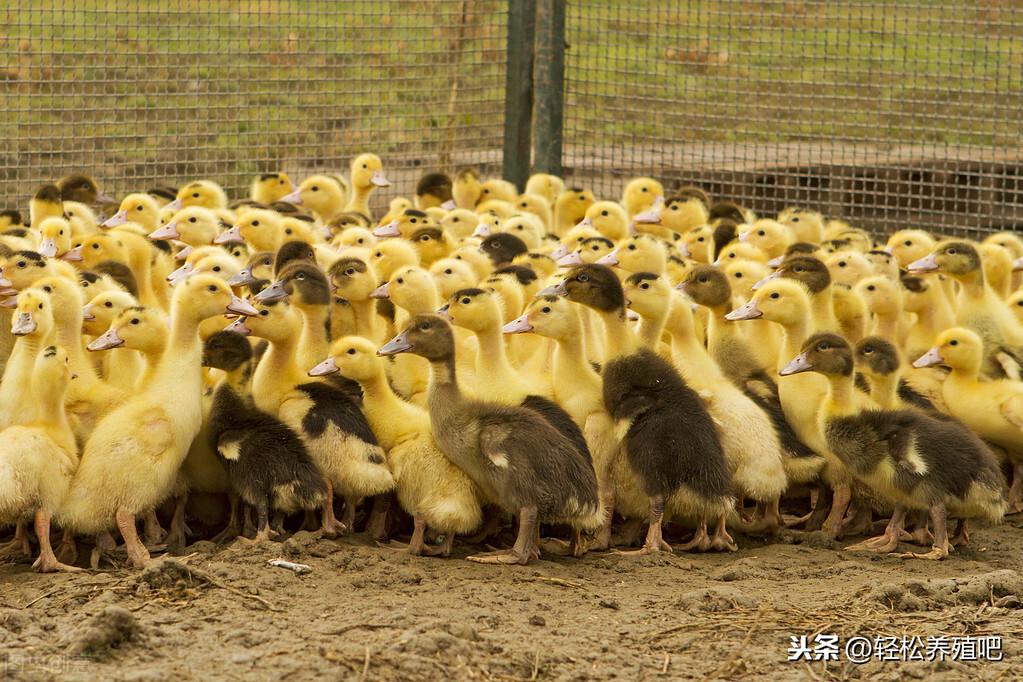 鸭鹅痛风发病率居高不下,如何有效防治 鸭鹅痛风防治 第4张