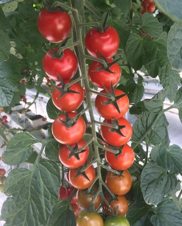 温室大棚里的串收番茄基质无土栽培技术干货满满、智能温室工程