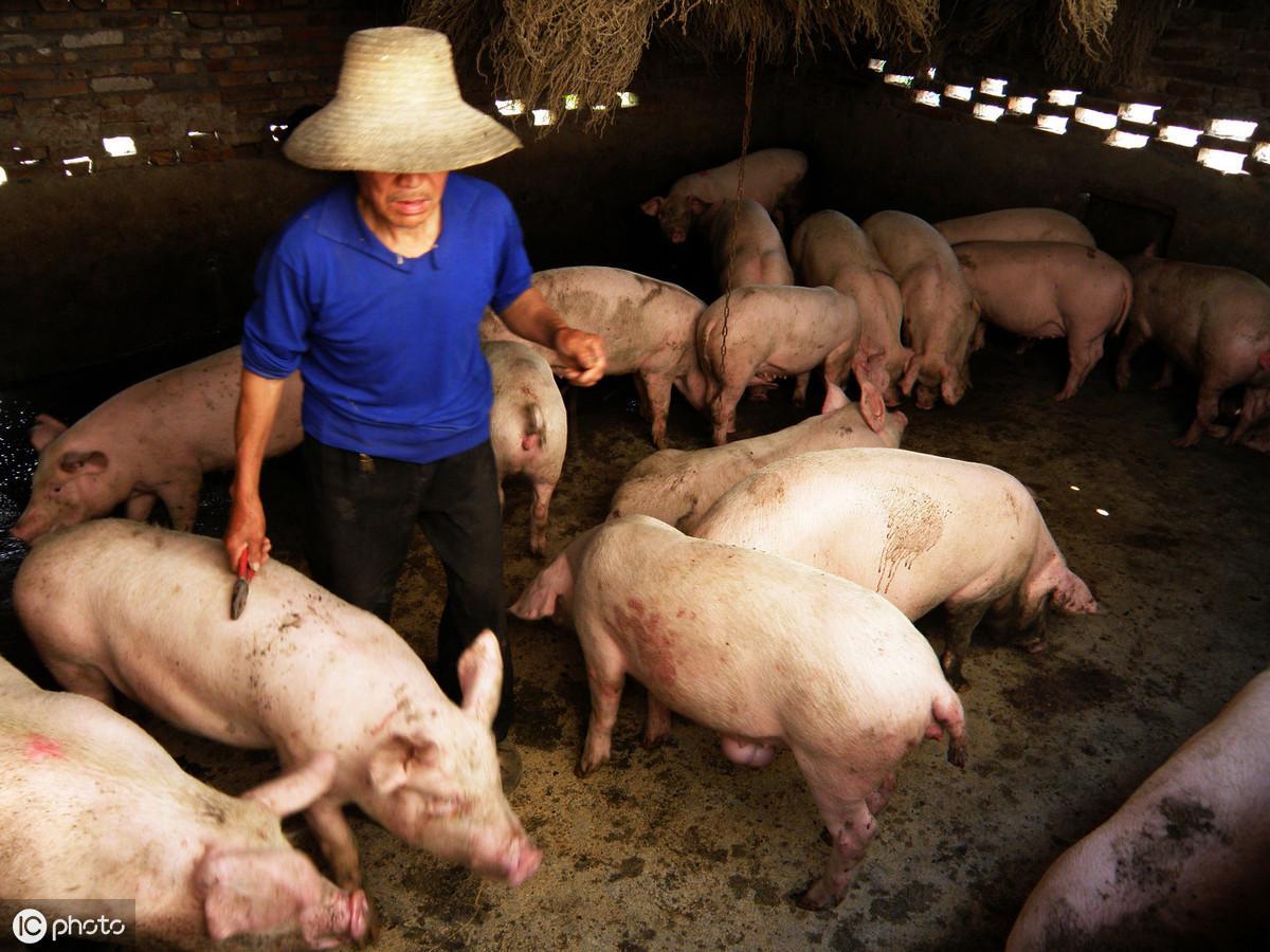 猪价喜迎3连涨!后续猪价走势如何?专家:5月阶段性大幅上涨!