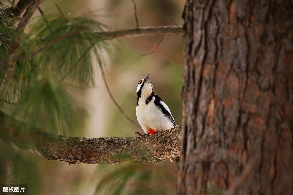 """""""以鸟治虫"""",一只啄木鸟一天可吃1400只虫子,树木害虫的克星"""