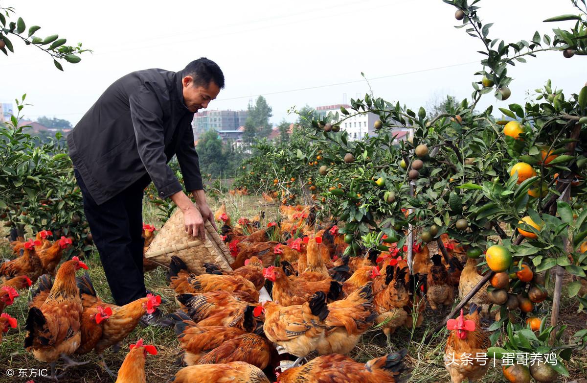 养鸡秘诀:老兽医总结十六个疾病防治中药方! 疾病防治 第1张
