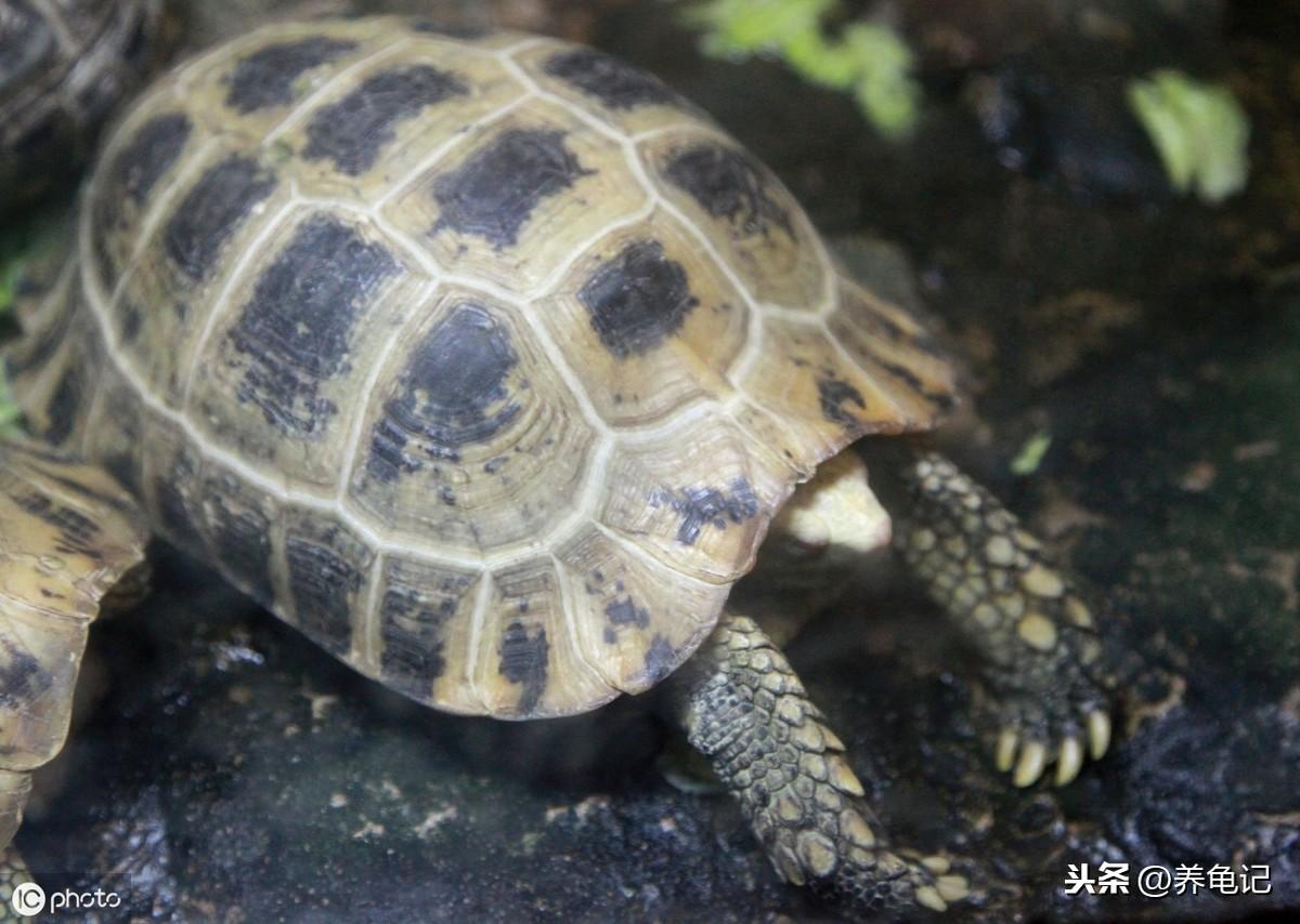 乌龟冬眠六字秘诀——做好这六个字乌龟冬眠无忧
