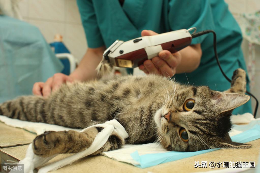 请不要拽猫尾巴!猫咪尾巴受伤,后果很严重