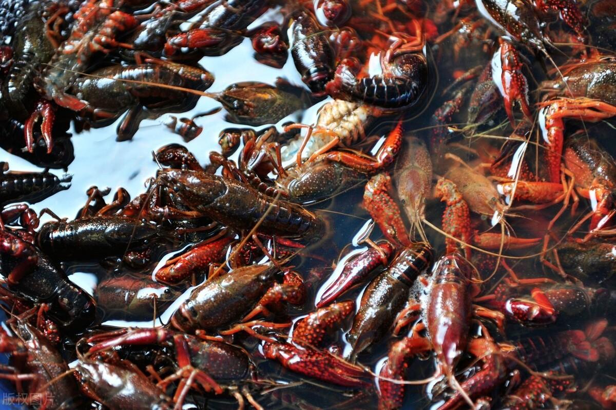 冬季稻虾田老塘口漏水比较严重!对小龙虾过冬有什么危害?怎么办