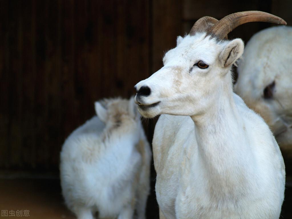 2021年,羊价小预测