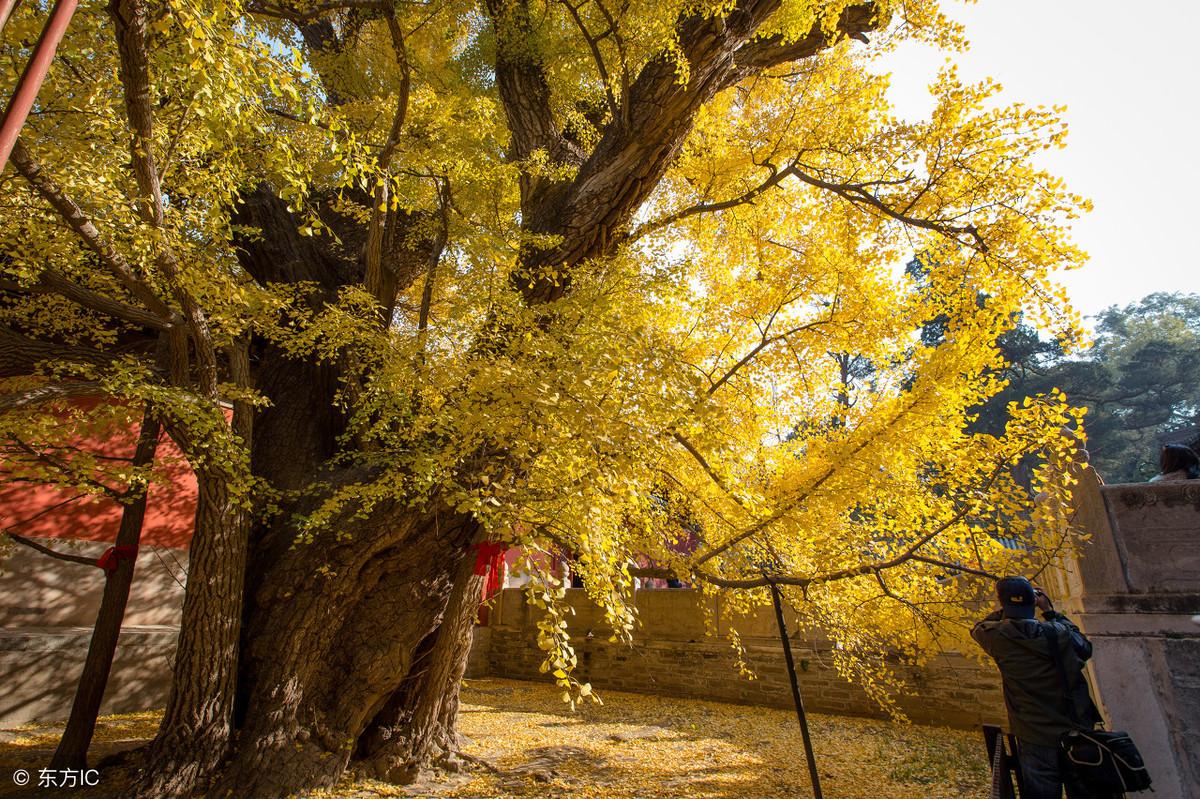 北京赏银杏不只钓鱼台,京西的大觉寺了解一下