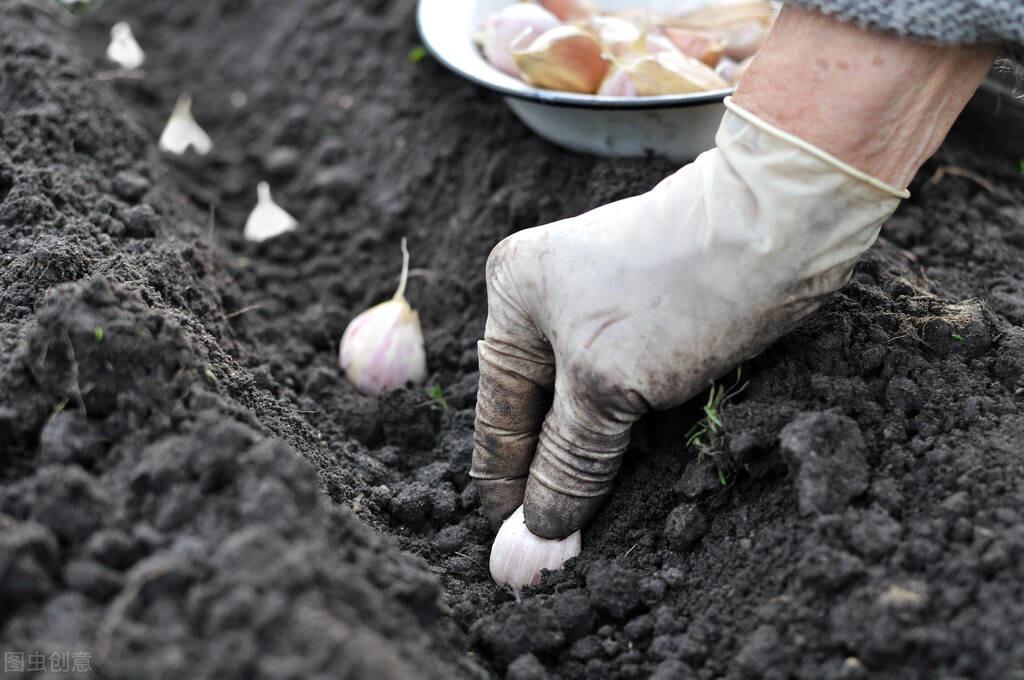 大蒜什么时候播种最好?2个时期有差异,农民朋友要注意