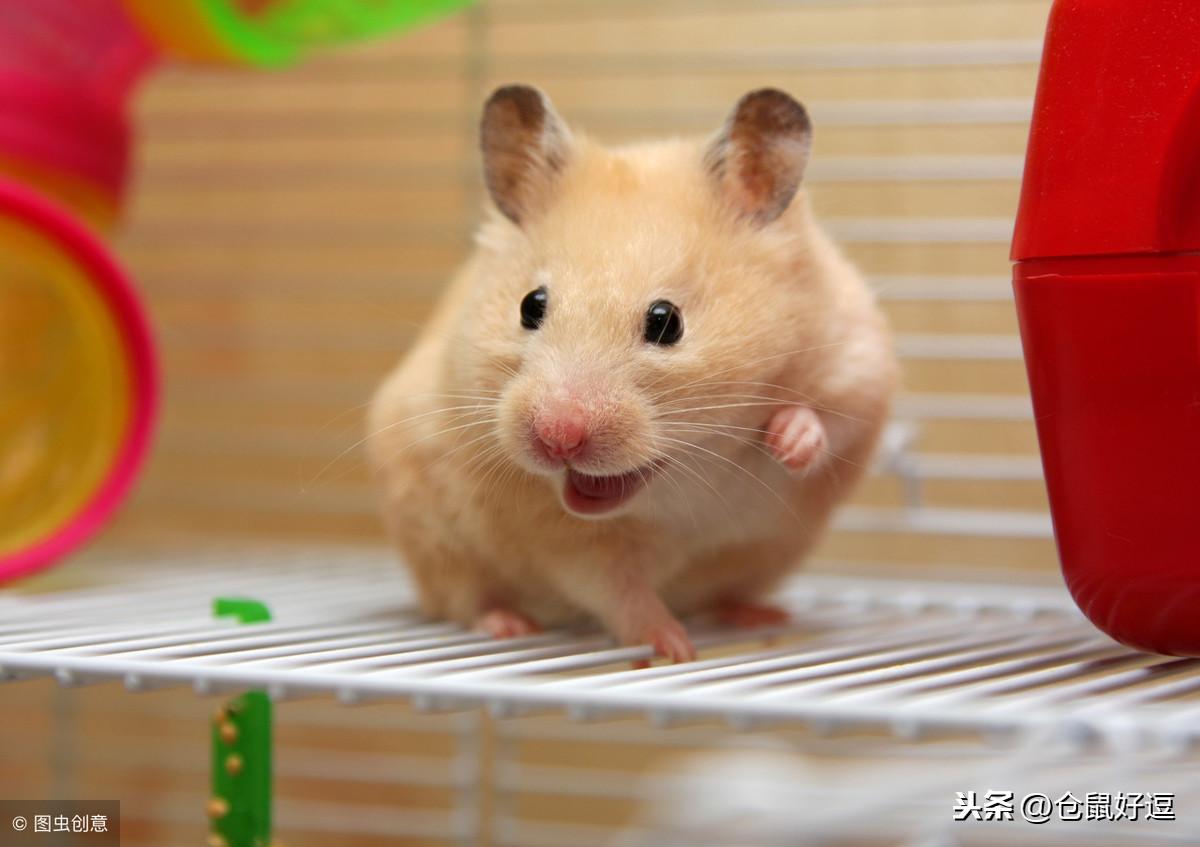 小仓鼠应不应该合笼呢?