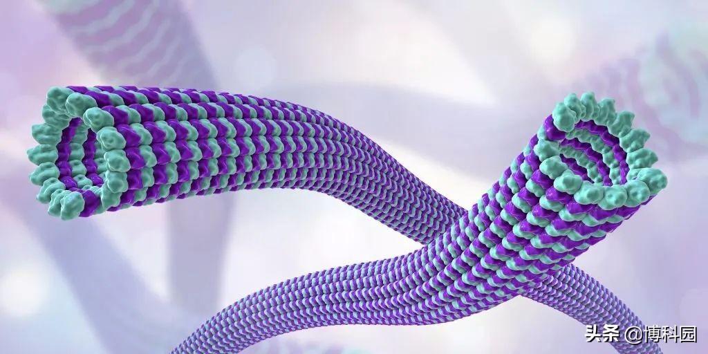 发现细胞内有摩擦力,有丝分裂纺锤体,分裂过程中将染色体拉开