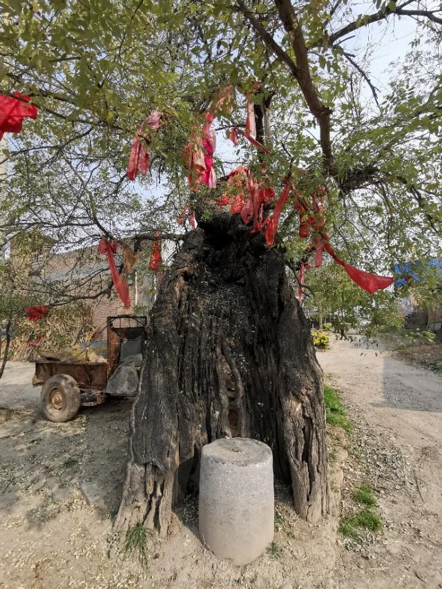雷击火烧沧桑态,老树新枝逢春来。