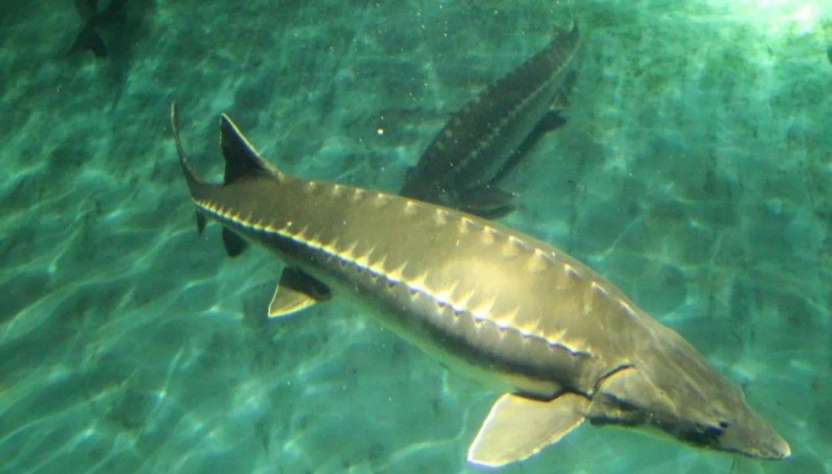 创历史新高,长江四大家鱼产卵43亿粒,意味着禁渔能逐步放开了?