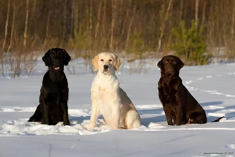 公认最贪吃的5种狗狗,我到底是养了只狗还是养了头猪?