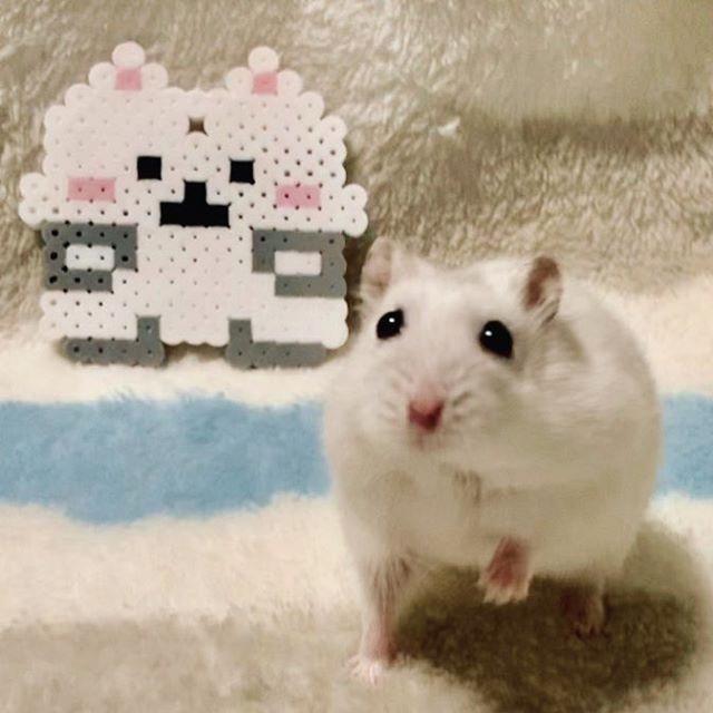 仓鼠努力减肥,只为再次获得主人疼爱,别提鼠鼠内心有多苦了