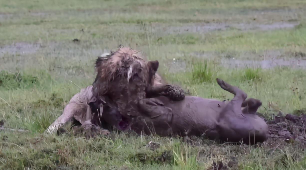 獅子在草原上不停挖坑,攝影師都看糊塗了,隨後卻為它捏了把汗