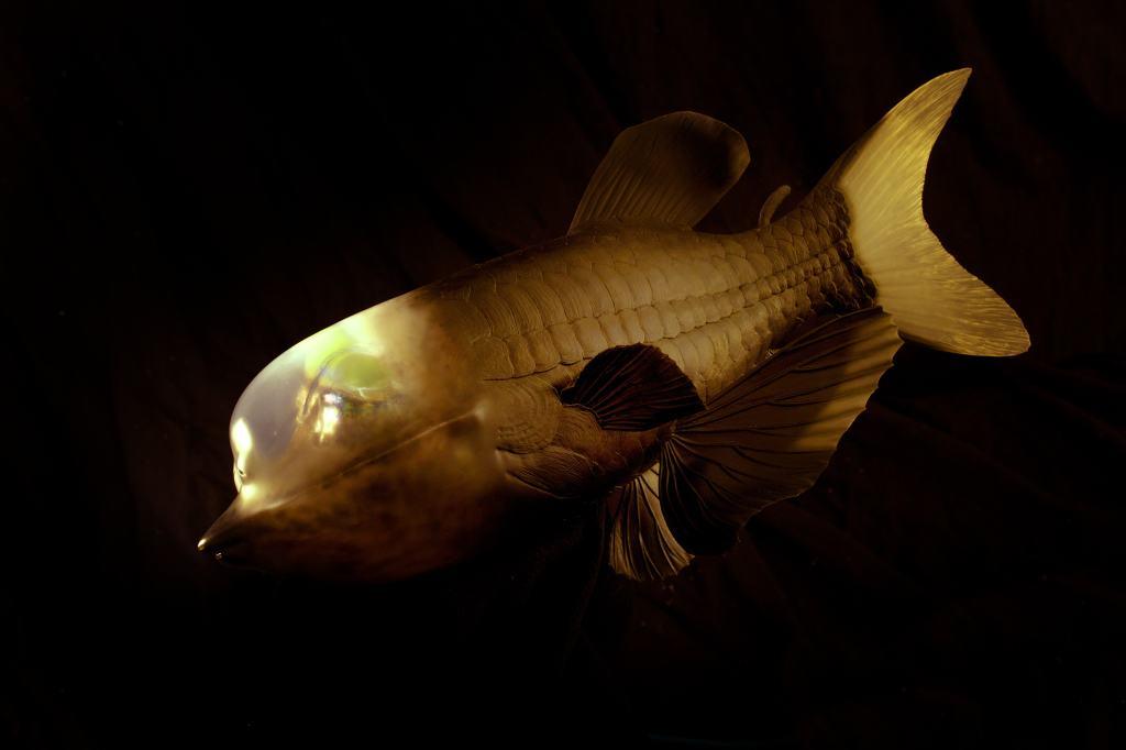 脑袋透明的怪鱼,捞上岸就毁容了,真实模样很罕见