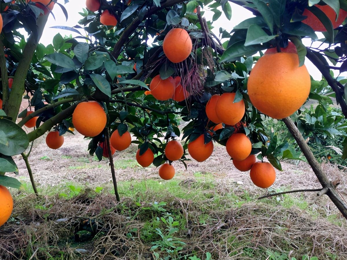 行情好当水果卖,价格低卖给榨汁厂,销路不愁但种植户也赚不到钱