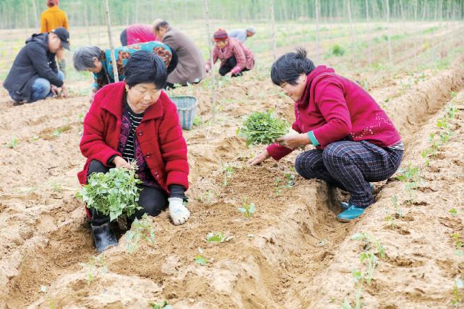 引进优质脱毒红薯 助力乡村振兴