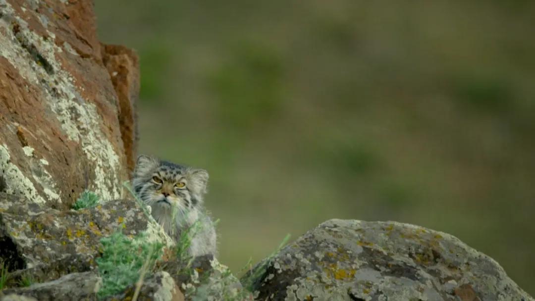 让野生动物摄影师秒变柠檬精,在野外看到兔狲一家