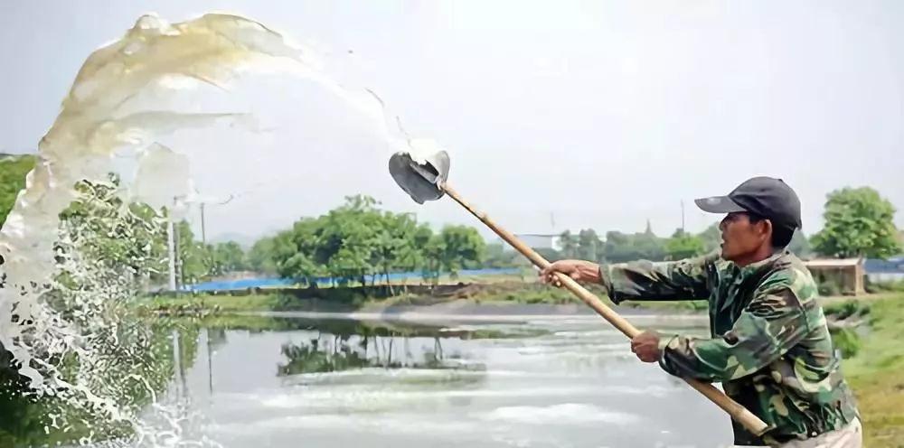 水花苗传统培育:鱼苗绿色食物---熟蛋黄水、生豆浆饲喂养鱼法