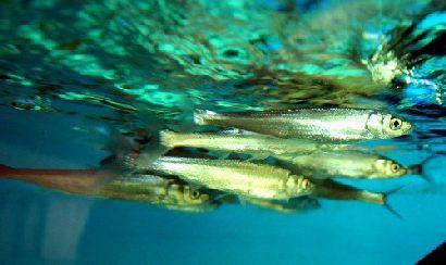泰山赤鳞鱼——中国五大名贵鱼
