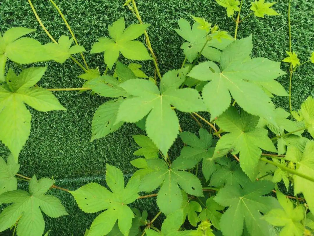 院子长出9种草,看到就铲除,留着就是大祸害 养花小妙招 第26张
