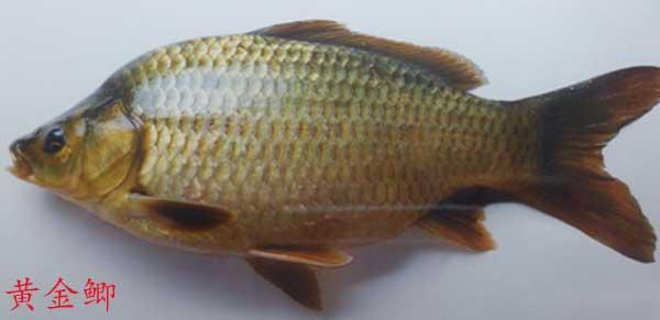 简述鲫鱼系列品种常见15个种类:比起畜禽来,鲫鱼种类最繁且多