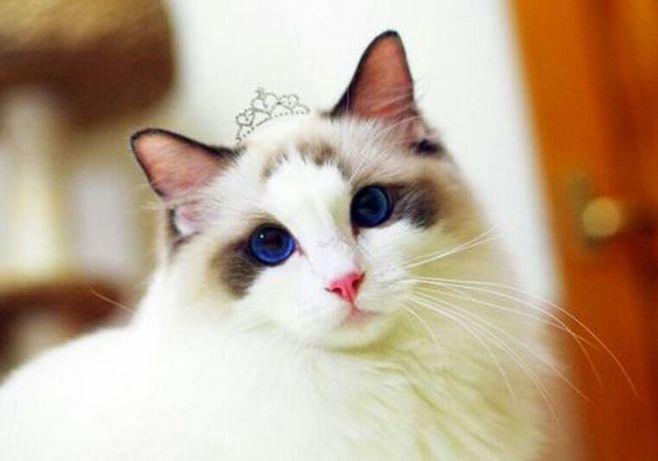盘点五种最适合家养的猫咪,中国本土也有一种上榜