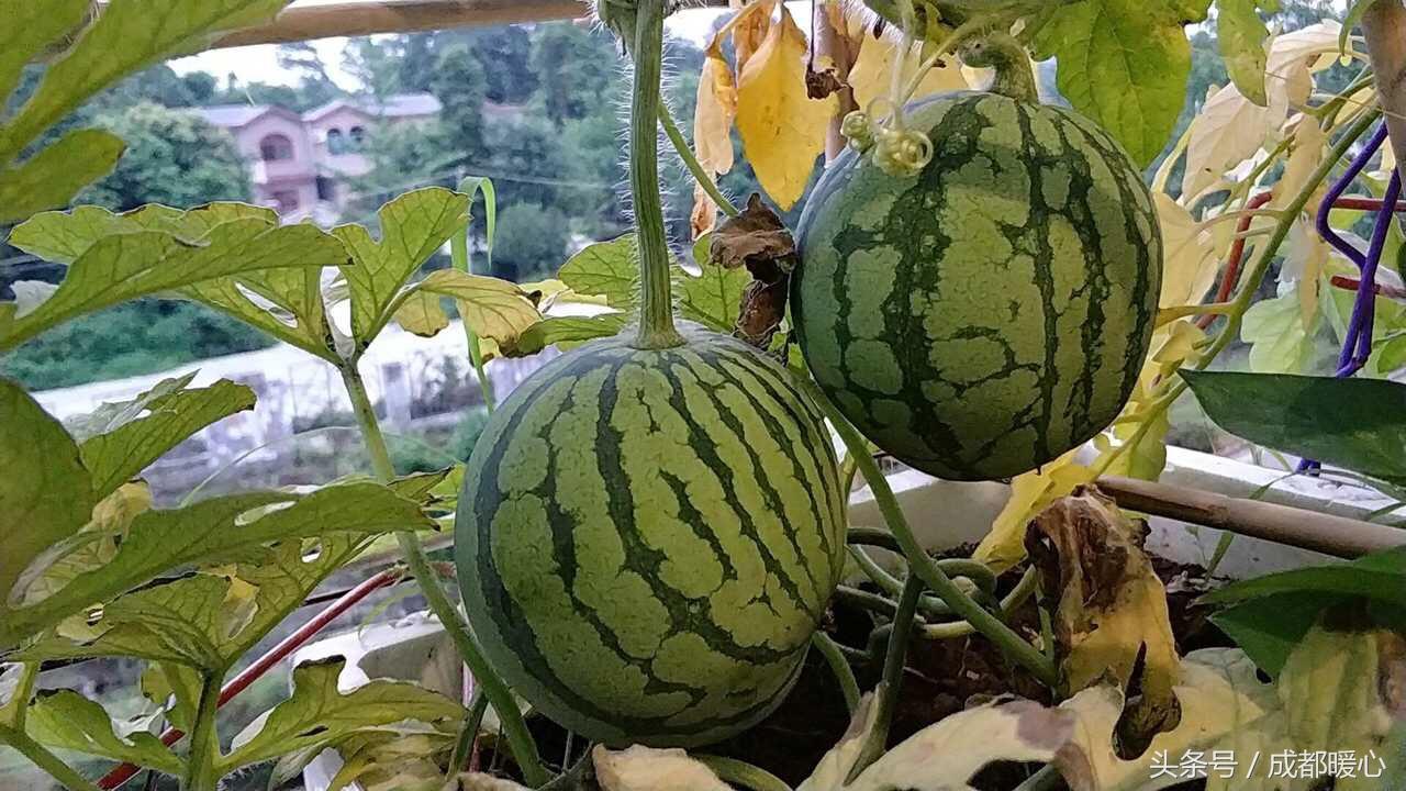 蒂花之秀!成都一高校男生在寝室种起了水果蔬菜