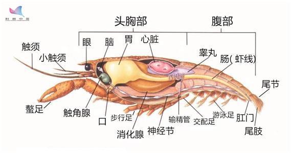 小龙虾为何如此美味?怎么做更好吃?