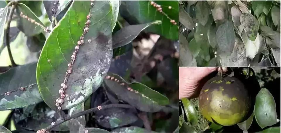 """苗木病虫害:园林植物常见病虫害""""蚧壳虫""""的症状及防治方法 疾病防治 第5张"""