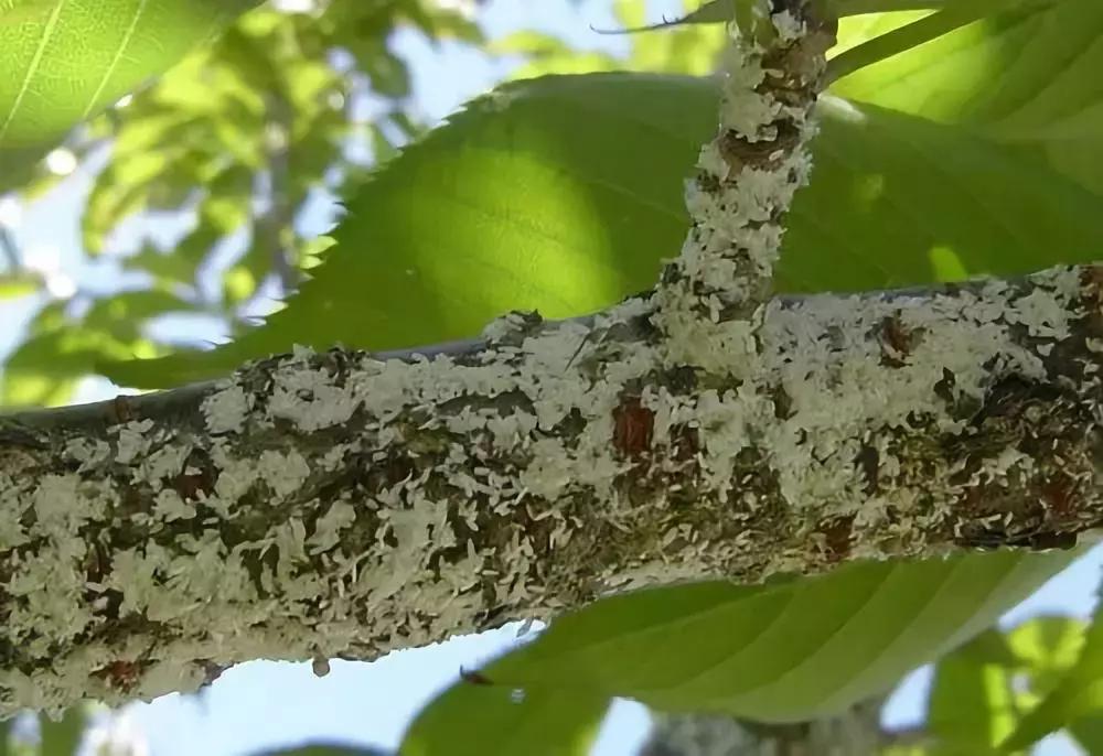 """苗木病虫害:园林植物常见病虫害""""蚧壳虫""""的症状及防治方法 疾病防治 第4张"""