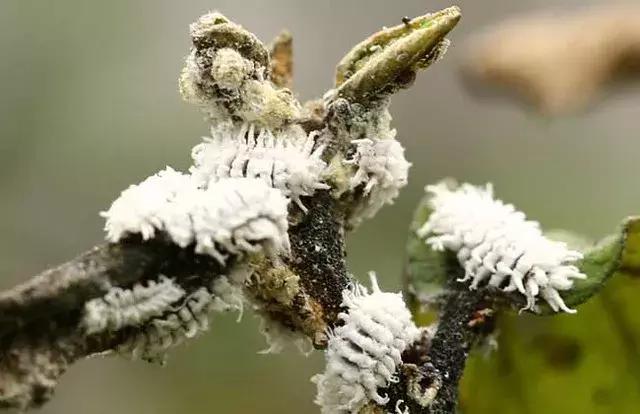 """苗木病虫害:园林植物常见病虫害""""蚧壳虫""""的症状及防治方法 疾病防治 第1张"""