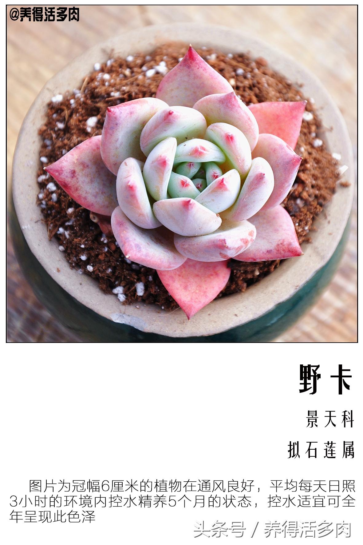 天天美图之安琪拉、艳日辉、野卡——养活活多肉植物