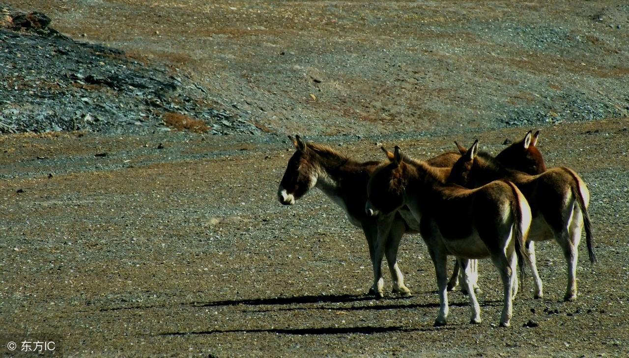 [骡子为什么不能生育]驴和马的后代——骡子,为何不能够繁育后代呢