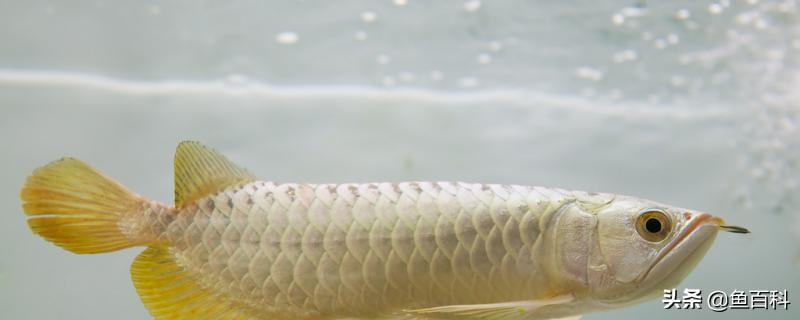 观赏鱼身上有白点是怎么回事,白点病怎么治疗