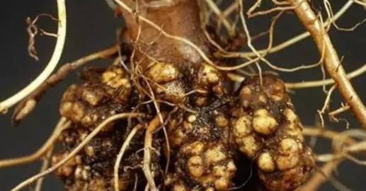植物细菌性病害的识别与详解,附常见细菌性病害录大全 园林病虫防治 第8张