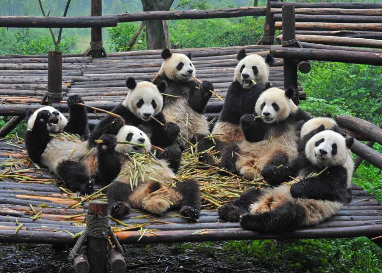 """日本人为何这么喜欢熊猫?专家解析日本成为""""熊猫爱好国""""的原因"""