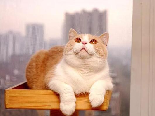英国短毛猫常见的10种颜色,你都认全了吗?