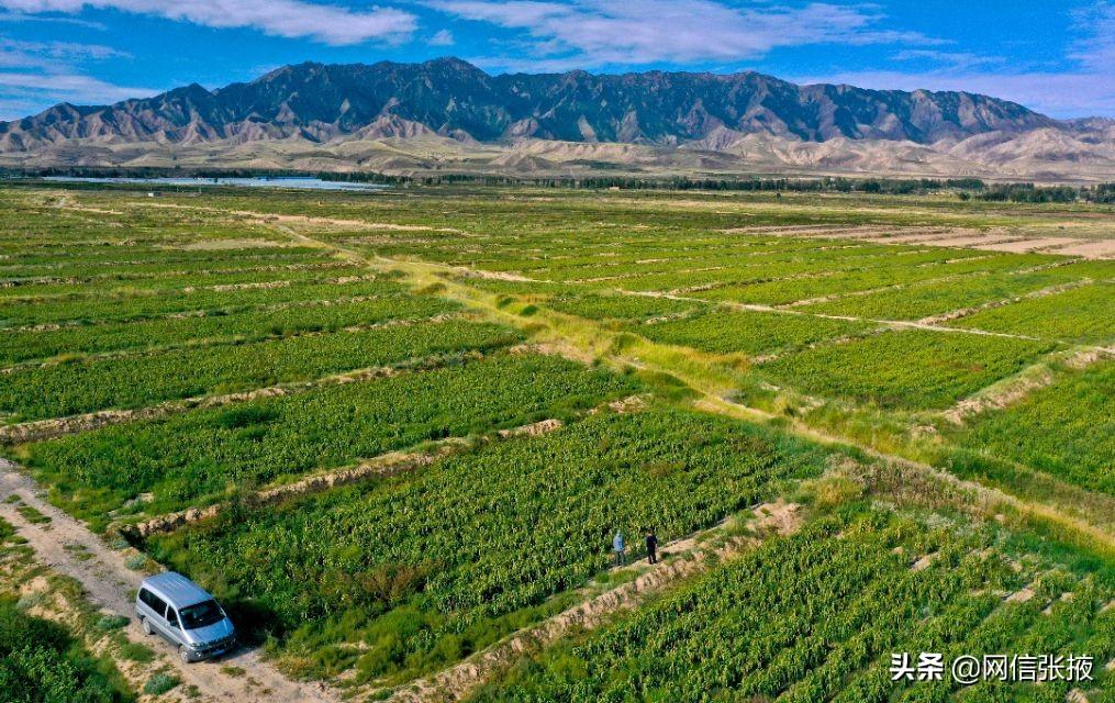 甘肃张掖:十万亩谷子长势喜人丰收在望