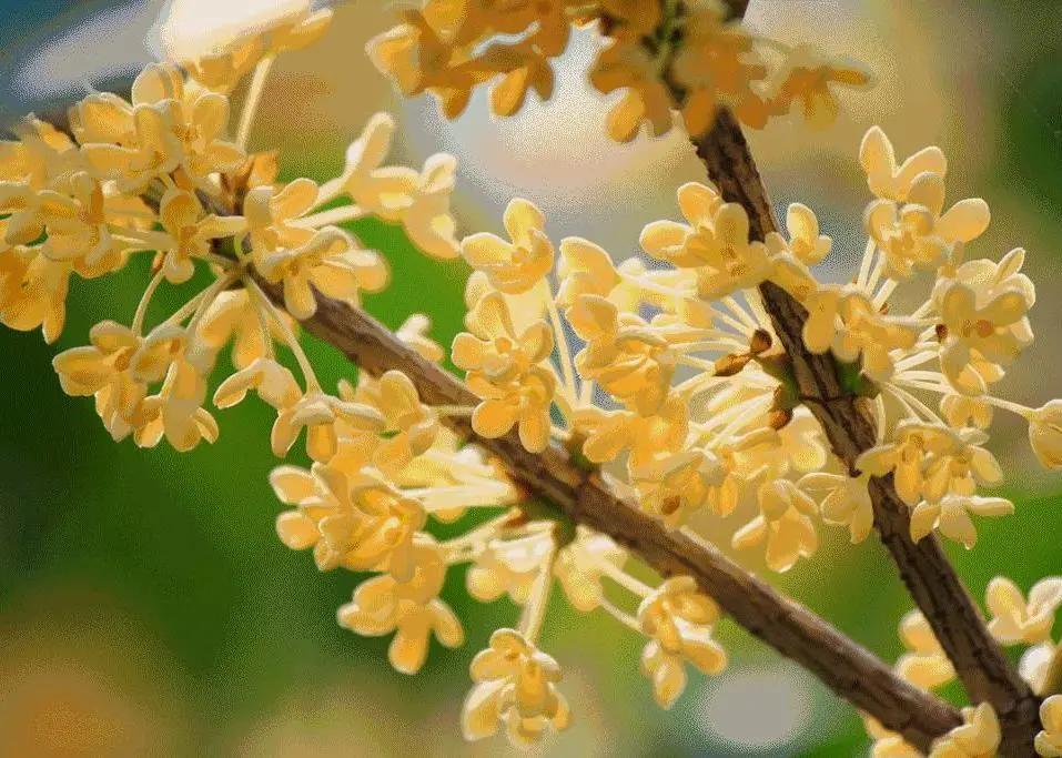 颐和园的桂花,开了!记忆里都飘香……