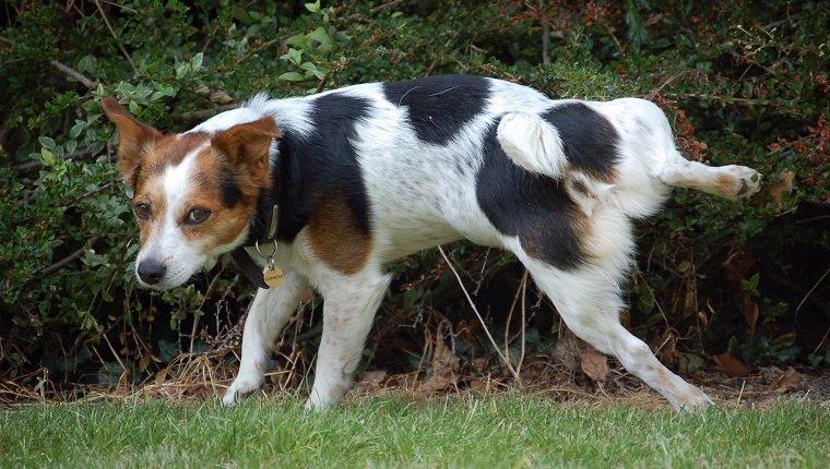 狗狗尿血就是因為泌尿道結石?可能沒那麽嚴重,只是尿道感染而已